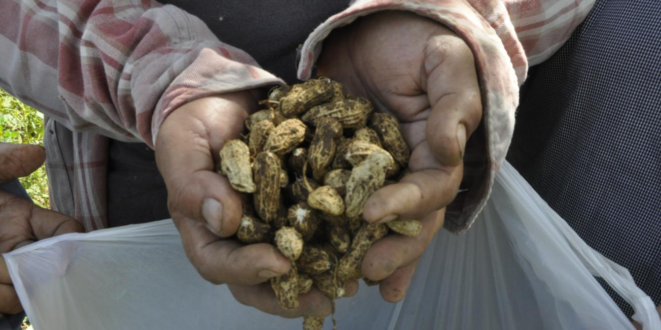 Female farmers harvested some peanuts. Growth and production is affected by climate change and pests. Farmers used indigenous pesticide to cope with it such as grounded chili and or mix it with powdered soap with water.(Photo: Joan Odena/Oxfam)